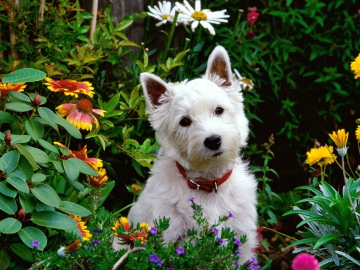 Terrier desktop wallpapers. Terrier free hq wallpapers. Terrier