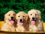 Puppies tongue desktop wallpapers|free hq hd wallpapers Puppies tongue