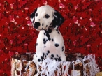 Dalmatian puppy desktop wallpapers|free hq hd wallpapers Dalmatian puppy