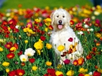 Dog in flower field desktop wallpapers|free hq hd wallpapers Dog in flower field