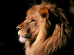 King Lion view desktop wallpapers|free hq hd wallpapers King Lion view