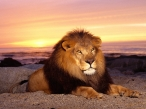Lion at sunset desktop wallpapers|free hq hd wallpapers Lion at sunset