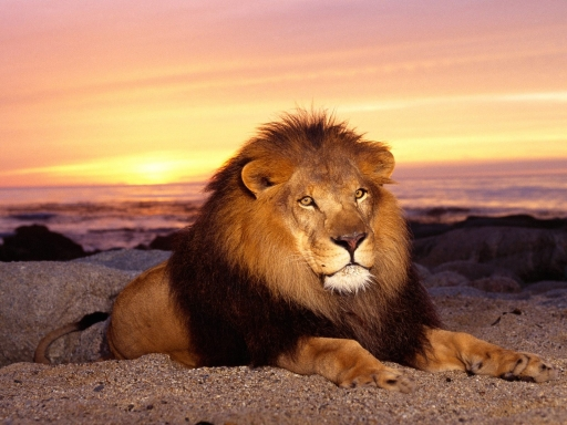 Lion at sunset desktop wallpapers. Lion at sunset free hq wallpapers. Lion at sunset