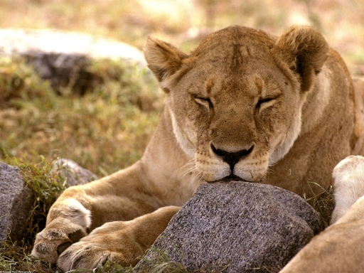 Sleeping lion desktop wallpapers. Sleeping lion free hq wallpapers. Sleeping lion