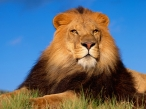 King Lion desktop wallpapers|free hq hd wallpapers King Lion