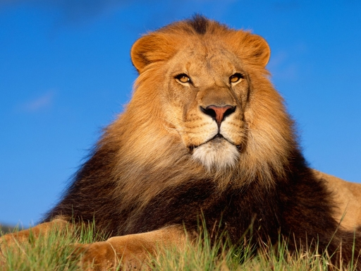 King Lion desktop wallpapers. King Lion free hq wallpapers. King Lion
