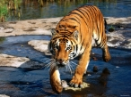 Tiger at walk desktop wallpapers|free hq hd wallpapers Tiger at walk