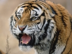 Anger tiger desktop wallpapers|free hq hd wallpapers Anger tiger