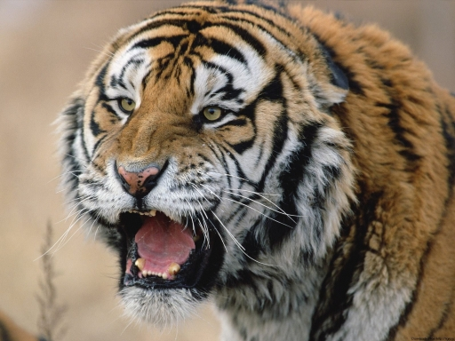 Anger tiger desktop wallpapers. Anger tiger free hq wallpapers. Anger tiger