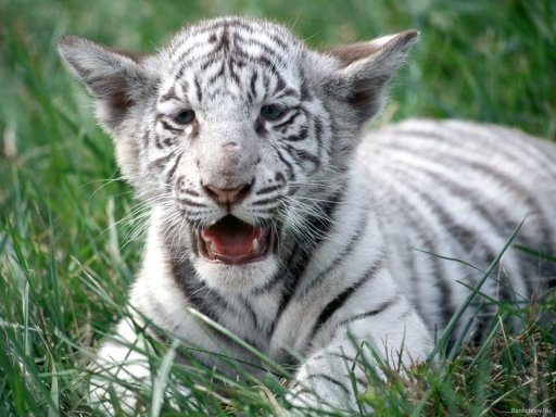 White baby tiger desktop wallpapers. White baby tiger free hq wallpapers. White baby tiger