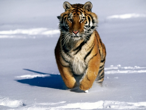 Tiger at snow desktop wallpapers. Tiger at snow free hq wallpapers. Tiger at snow