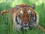 Tiger on grass desktop wallpapers|free hq hd wallpapers Tiger on grass