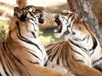Tigers in communication desktop wallpapers|free hq hd wallpapers Tigers in communication