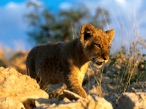 Baby lion to walk desktop wallpapers|free hq hd wallpapers Baby lion to walk