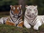 White and orange tiger desktop wallpapers|free hq hd wallpapers White and orange tiger