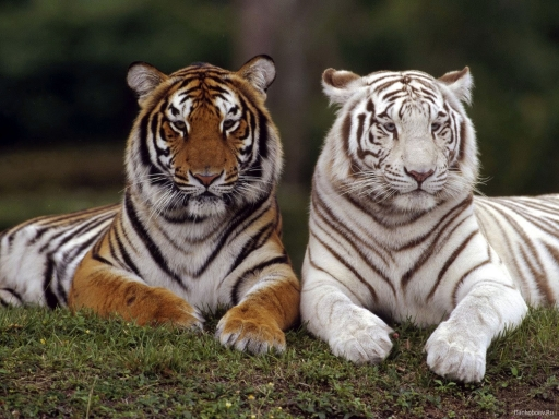 White and orange tiger desktop wallpapers. White and orange tiger free hq wallpapers. White and orange tiger