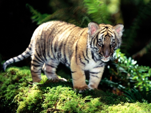 Baby tiger desktop wallpapers. Baby tiger free hq wallpapers. Baby tiger