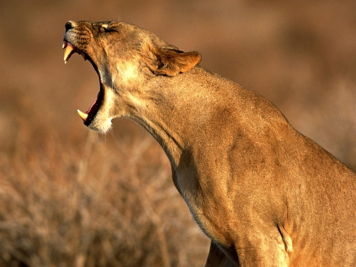 Angry lioness desktop wallpapers. Angry lioness free hq wallpapers. Angry lioness