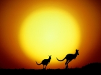 The Kangaroo Hop  Australia desktop wallpapers|free hq hd wallpapers The Kangaroo Hop  Australia