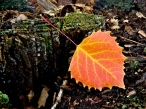 Automn leaf desktop wallpapers|free hq hd wallpapers Automn leaf