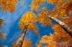 Autumn birch desktop wallpapers|free hq hd wallpapers Autumn birch