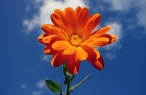Orange flower desktop wallpapers|free hq hd wallpapers Orange flower