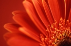 Red petals desktop wallpapers|free hq hd wallpapers Red petals