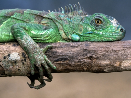 Iguana desktop wallpapers. Iguana free hq wallpapers. Iguana