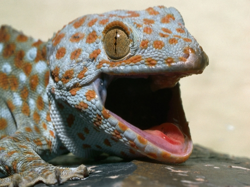 Lizard with open mouth desktop wallpapers. Lizard with open mouth free hq wallpapers. Lizard with open mouth