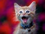 Kitten with open mouth desktop wallpapers|free hq hd wallpapers Kitten with open mouth