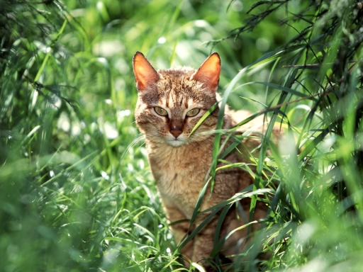 Cat in grass desktop wallpapers. Cat in grass free hq wallpapers. Cat in grass