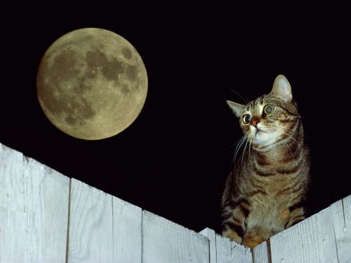 Cat in full moon desktop wallpapers. Cat in full moon free hq wallpapers. Cat in full moon