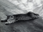 Cat  Black white desktop wallpapers|free hq hd wallpapers Cat  Black white