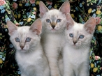 white cats desktop wallpapers|free hq hd wallpapers white cats
