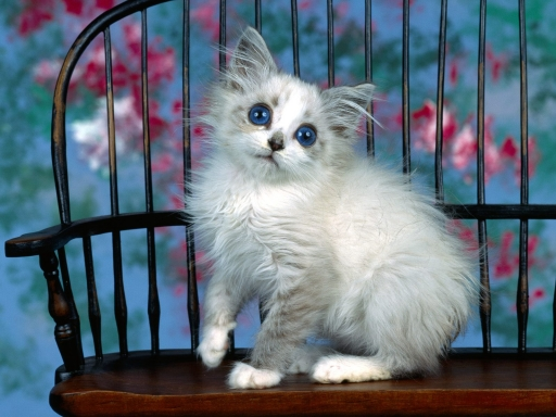 Blue eye cat desktop wallpapers. Blue eye cat free hq wallpapers. Blue eye cat
