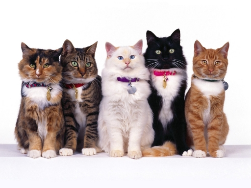 Cats at show desktop wallpapers. Cats at show free hq wallpapers. Cats at show