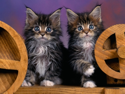 blue eyes littens desktop wallpapers. blue eyes littens free hq wallpapers. blue eyes littens