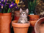 Kitten in vases desktop wallpapers|free hq hd wallpapers Kitten in vases