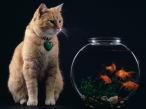 Cat and fishes desktop wallpapers|free hq hd wallpapers Cat and fishes