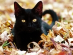 Black cat desktop wallpapers|free hq hd wallpapers Black cat