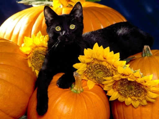 Cat on pumpkin desktop wallpapers. Cat on pumpkin free hq wallpapers. Cat on pumpkin