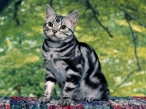 Striped cat desktop wallpapers|free hq hd wallpapers Striped cat
