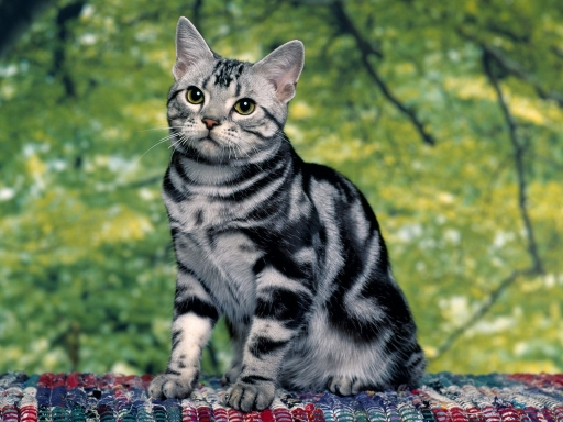 Striped cat desktop wallpapers. Striped cat free hq wallpapers. Striped cat