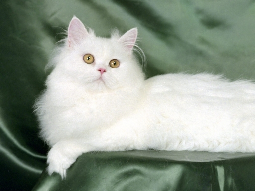 White cat desktop wallpapers. White cat free hq wallpapers. White cat