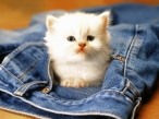 Cat from jeans desktop wallpapers|free hq hd wallpapers Cat from jeans