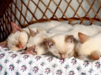 Kitten sleep desktop wallpapers|free hq hd wallpapers Kitten sleep