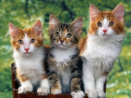 cats desktop wallpapers. cats free hq wallpapers. cats
