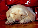 Sleep puppy desktop wallpapers|free hq hd wallpapers Sleep puppy