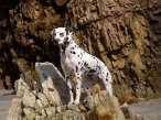 Dalmatian desktop wallpapers|free hq hd wallpapers Dalmatian