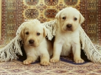 puppies desktop wallpapers|free hq hd wallpapers puppies
